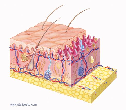 Il corpo umano, la pelle