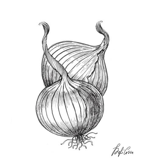Cipolla, disegno botanico