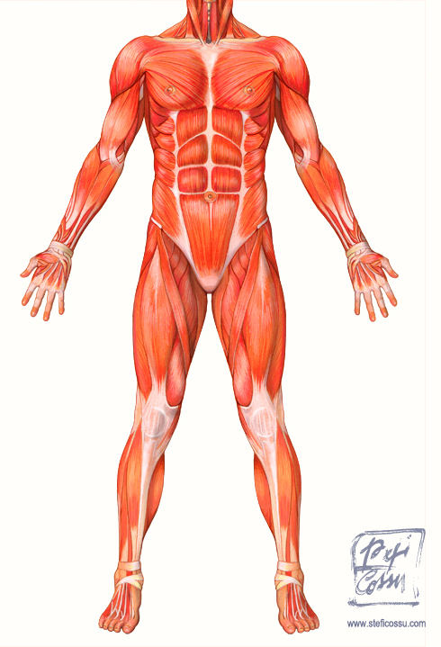Il corpo umano, muscoli