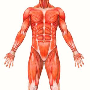 il corpo umano, muscoli dettaglio